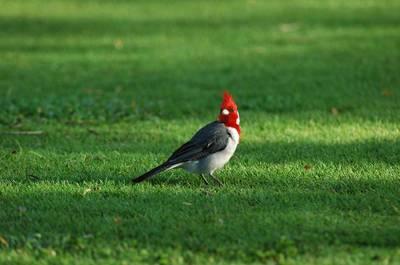 ハワイの野鳥Ⅲ: ケンさんの探鳥...