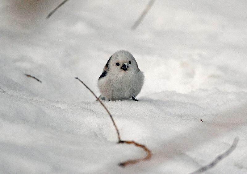 雪をつけているシマエナガ