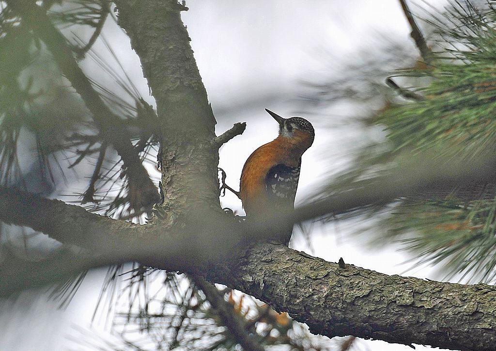 茶腹赤啄木鳥: ケンさんの探鳥記