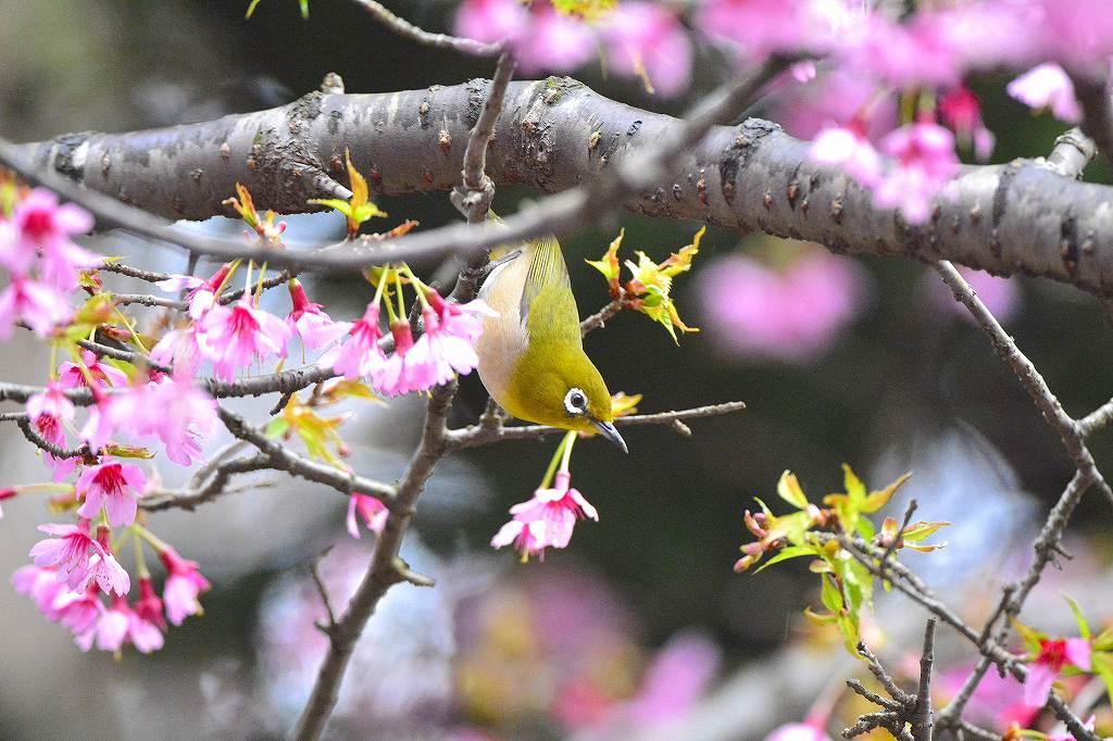 春分の日のオカメとメジロ: ケン...